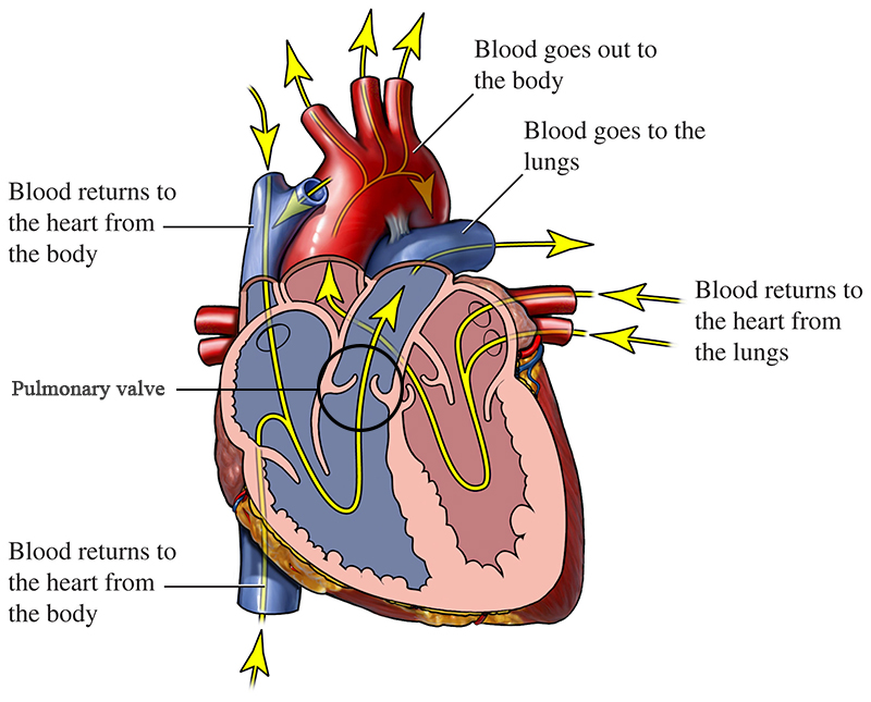 blood flow of a healthy heart with pulmonary valve circled