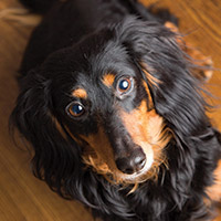 Mackie long-haired miniature Dachshund