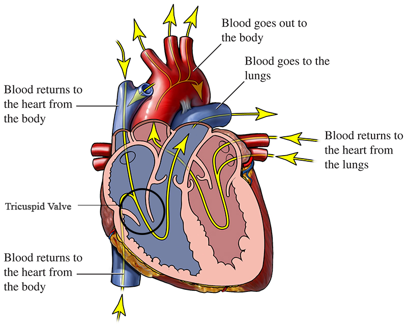 blood flow of a healthy heart with tricuspid valve highlighted